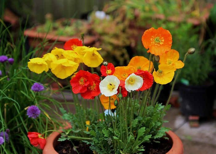 Growing poppies in pots care how to grow poppies in containers growing poppies mightylinksfo