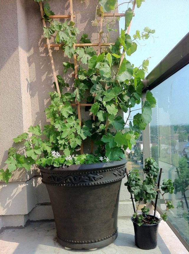 Growing Grapes In Containers How To Grow Grapes In Pots
