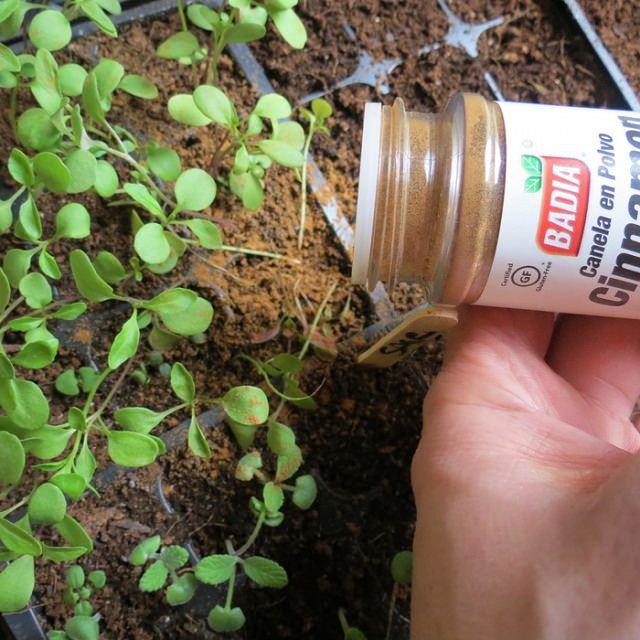 using cinnamon on seedlings - Garden Hacks