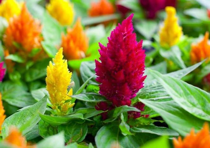 22 best flowers for full sun heat tolerant flowers for containers celosia plant mightylinksfo