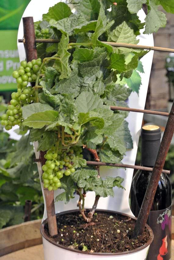 Growing Grapes in Containers | How to grow Grapes in Pots ...