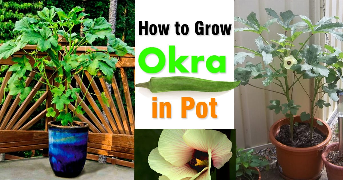 Growing Okra In Pots How To Grow Containers Balcony Garden Web