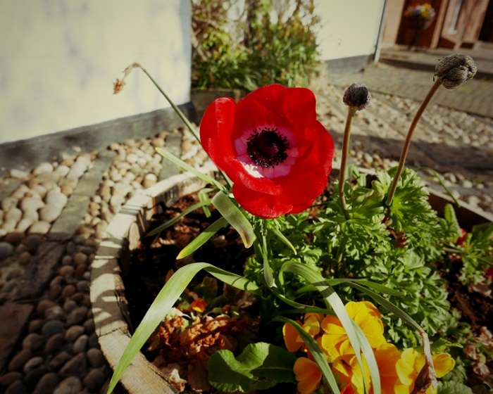 Growing poppies in pots care how to grow poppies in containers growing poppies in pots mightylinksfo