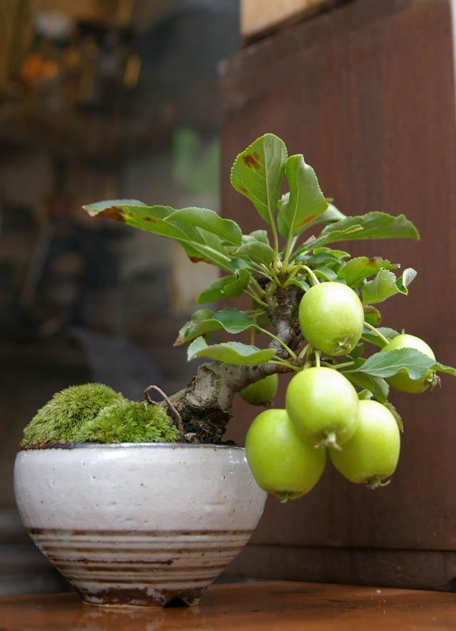 guava bonsai