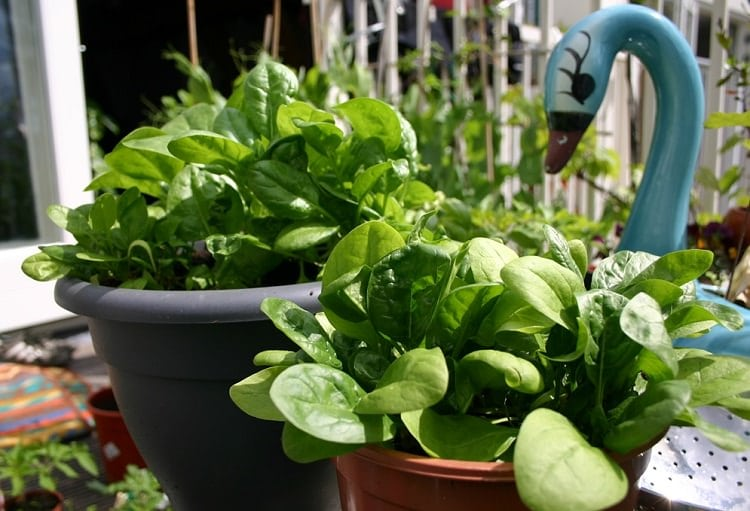 growing spinach in pots