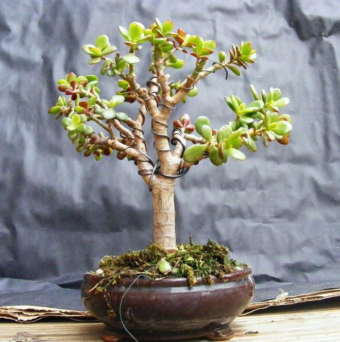 jade bonsai 1