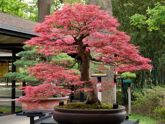 22 best trees for bonsai
