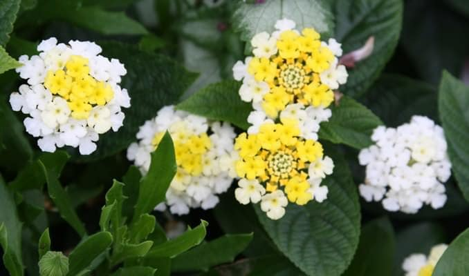 22 best flowers for full sun heat tolerant flowers for containers lantana is a common tropical flower that blooms year round in bright colors like red yellow orange white or pink it thrives in neglect and heat mightylinksfo