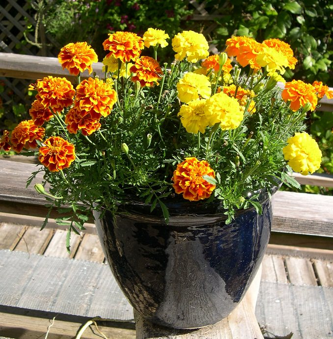22 best flowers for full sun heat tolerant flowers for containers afternoon sun plants mightylinksfo