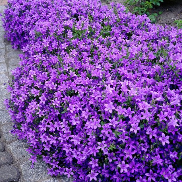 18 best flowering ground cover plants balcony garden web or dalmatian bellflower is a beautiful annual or perennial plant that forms a mat of small rounded leaves the flowers are star shaped blue purple in mightylinksfo