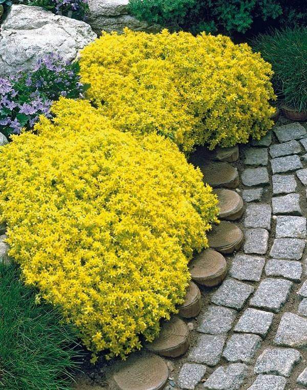 The Genus Sedum Has A Diverse Group Of Ornamental Succulent Plants You Can Grow Low Growing Sedums As Ground Cover In Full Sun And Well Drained Soil