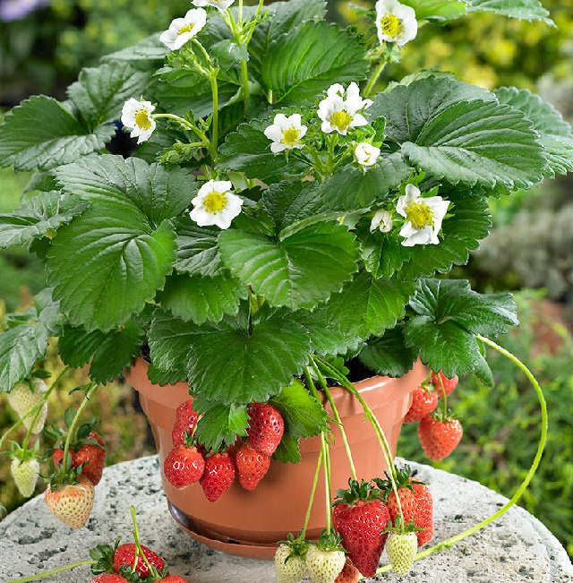 Strawberry In Container Growing: Best Fruits To Grow In Pots