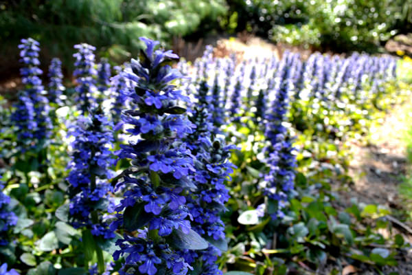 18 best flowering ground cover plants balcony garden web ajuga reptans jungle beauty mightylinksfo