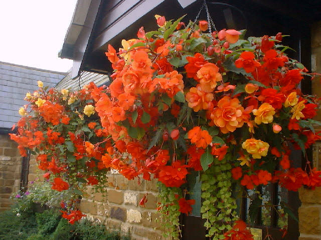 Lantana Hanging Basket Mesmerizing Best Plants For Hanging Baskets Balcony Garden Web