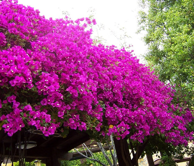 24 best drought tolerant plants that grow in lack of water balcony bougainvillea is a champion in tolerating the drought it seems to be one of the toughest shrubs that thrive on neglect in extreme and intense conditions mightylinksfo