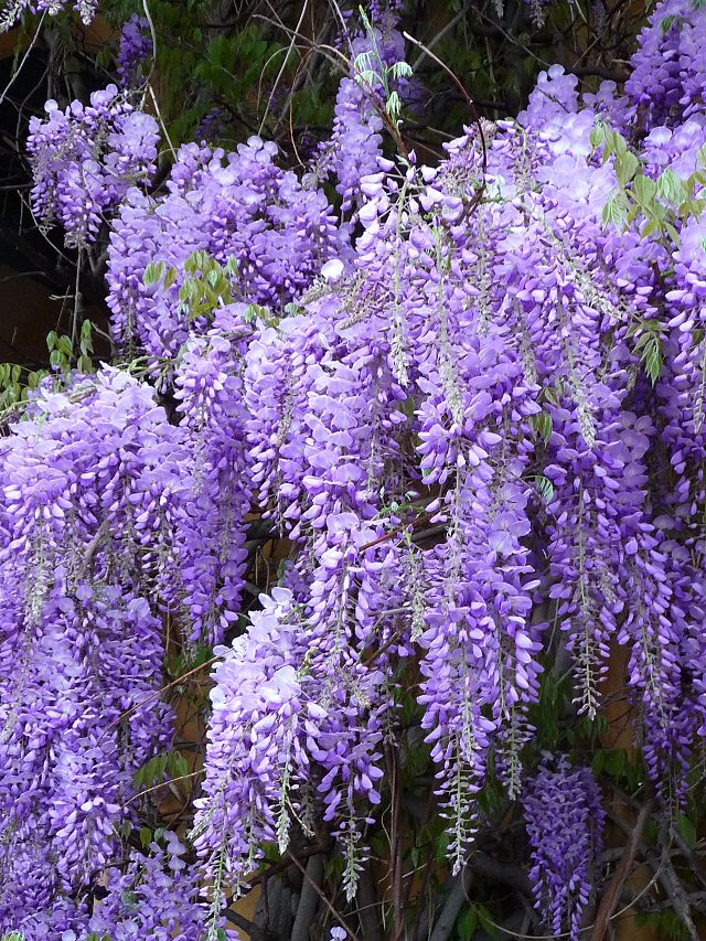 24 best vines for containers climbing plants for pots balcony wisteria is one the most popular vines and it grows best in moderately cool climate it can become huge however by providing solid support to the wisteria mightylinksfo