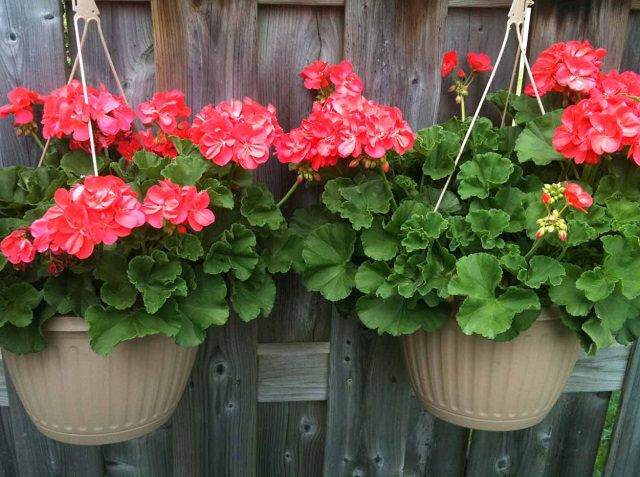 Geranium In Hanging Basket