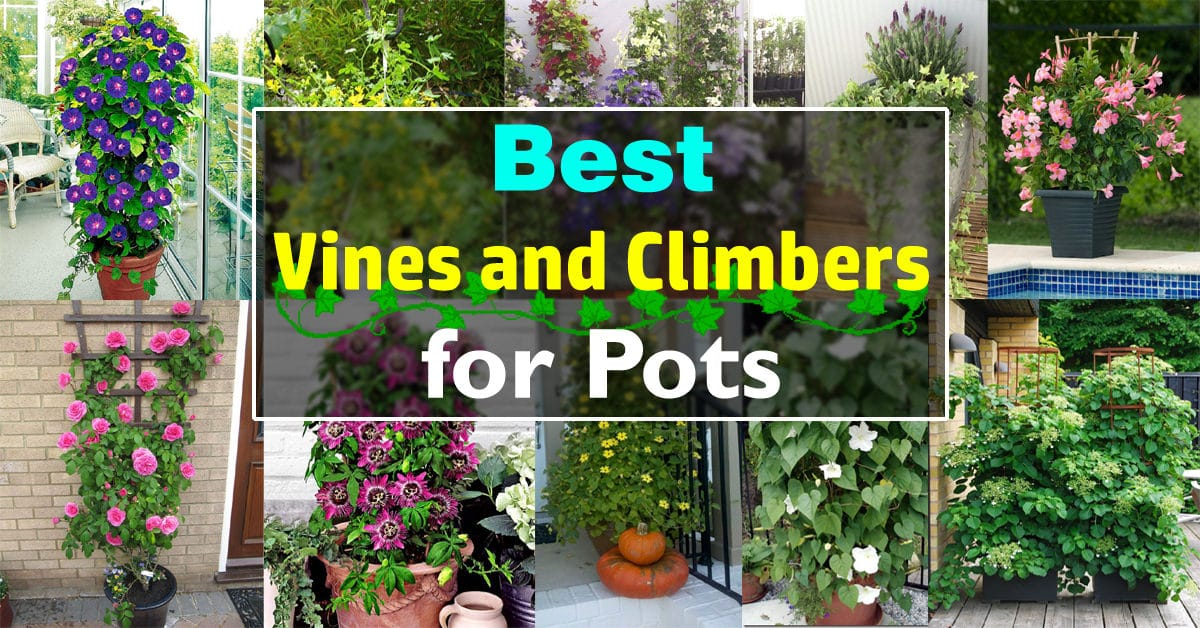 Balcony Garden Web & 24 Best Vines for Containers | Climbing Plants For Pots ...