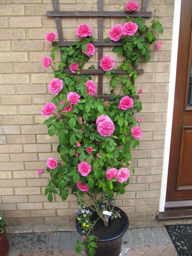 Wedding Bush Plant