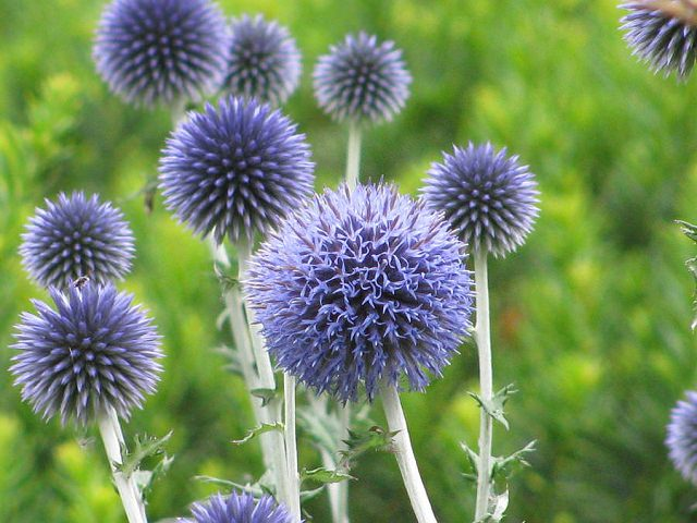 24 best drought tolerant plants that grow in lack of water balcony once established globe thistles tolerate drought and are probably one of the easiest perennial you can have in your garden and once in bloom mightylinksfo