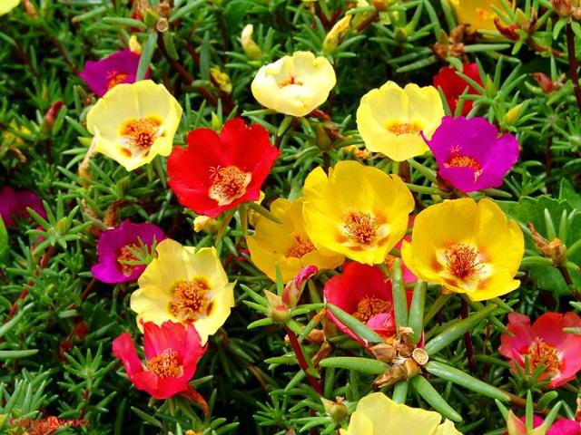 24 best drought tolerant plants that grow in lack of water balcony moss rose or portulaca is a drought tolerant flowering plant that thrives in dry poor soil due to its thick succulent leaves it can survive for a long mightylinksfo
