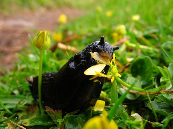 kill slugs with vinegar