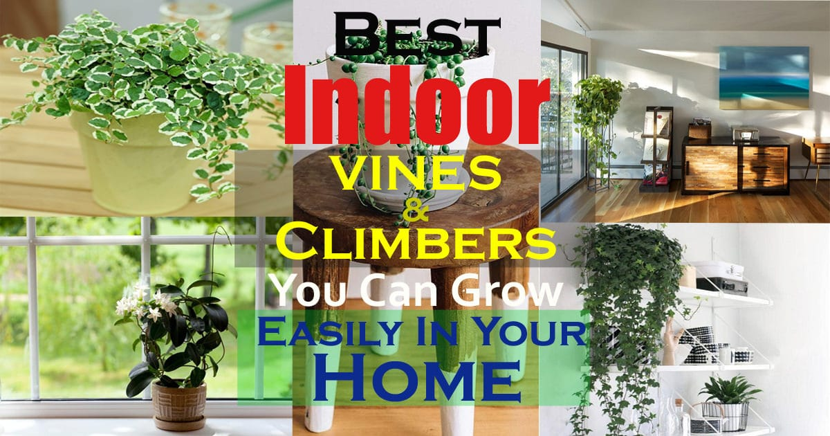 11 Best Indoor Vines And Climbers You Can Grow Easily In Your Home Indoor Plant Plants Trellis House on popular indoor plants, indoor vine plants, small indoor plants, green indoor plants, tall indoor plants, names of indoor plants, large indoor plants, great indoor plants, types of indoor plants, low light indoor plants, common indoor plants, indoor palm plants, indoor office plants, tropical indoor plants,
