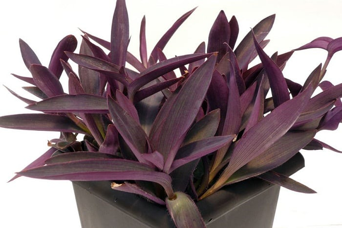 17 best flowering houseplants balcony garden web a cluster of purple lance shaped leaves makes purple heart an impressive houseplant with or without its pink flowers this beautiful trailing indoor plant mightylinksfo