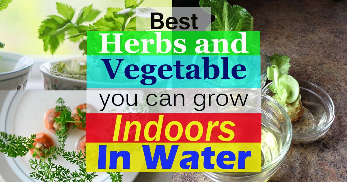 9 Best Herbs And Vegetable You Can Grow Indoors In Water Balcony Garden Web