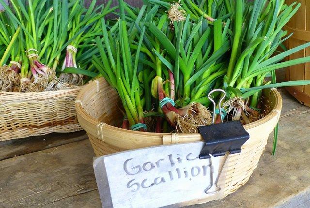 how to grow garlic indoors growing garlic in pots balcony garden web. Black Bedroom Furniture Sets. Home Design Ideas