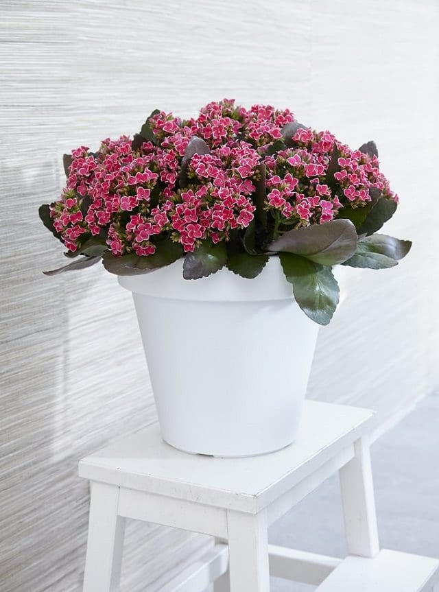 The Flowering Kalanchoe Blossfeldiana Can Impact Your Indoor Decorations Positively This Striking Succulent Plant Is No Match When In Bloom And