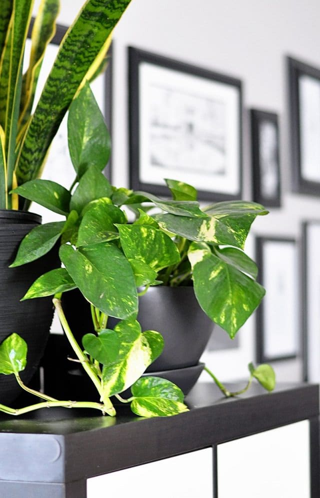 houseplant that remove indoor air pollutants: NASA study on a houseplant