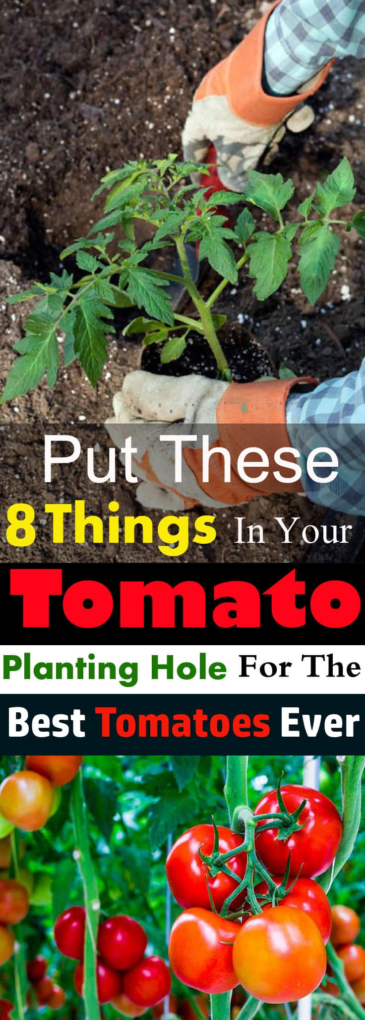 Put These Things in Your TOMATO Planting Hole For The Best Tomatoes Ever 1 Coffee Groundsas Fertilizer
