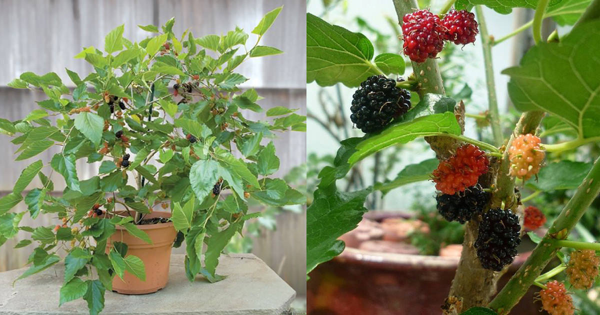 Growing Mulberry in Containers: How to Grow Mulberry Tree in a Pot