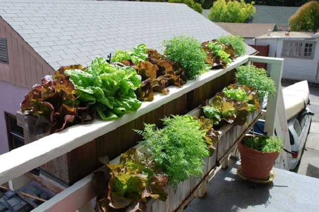 Lettuces in the window boxes in a balcony