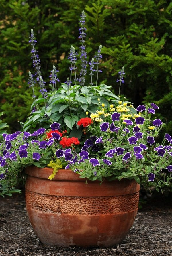 Best Blue Flowers To Grow In Containers   Balcony Garden Web