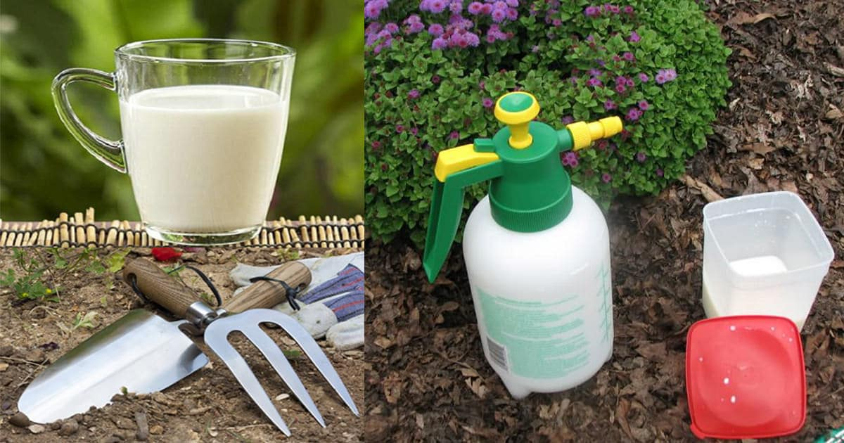Use Milk In The Garden And Be Ready For These 8 Surprises | Milk