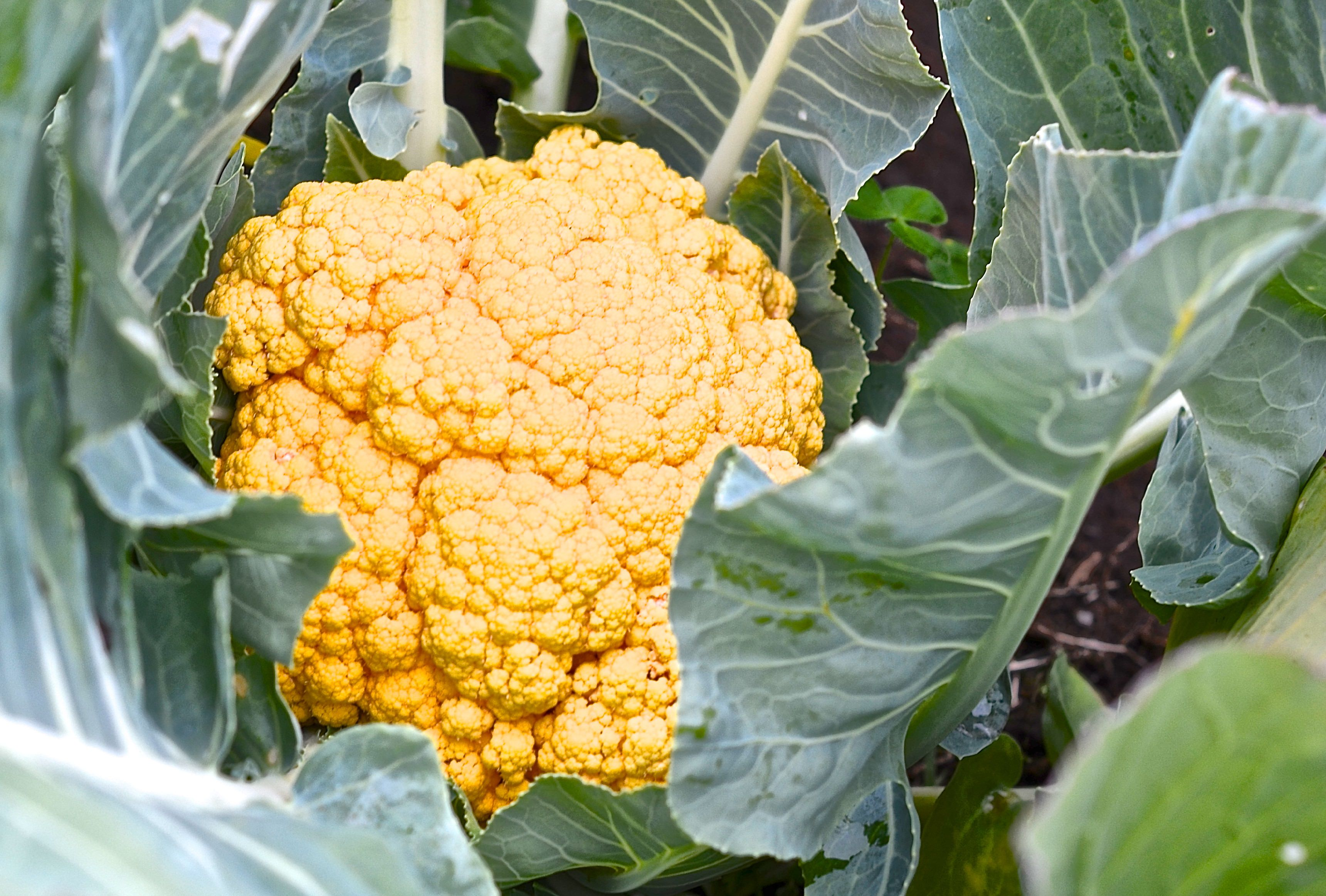 18 most colorful vegetables you need to grow in your garden cauliflower cheddar mightylinksfo