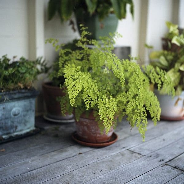 21 Best Ferns For Containers That You Can Grow Indoors