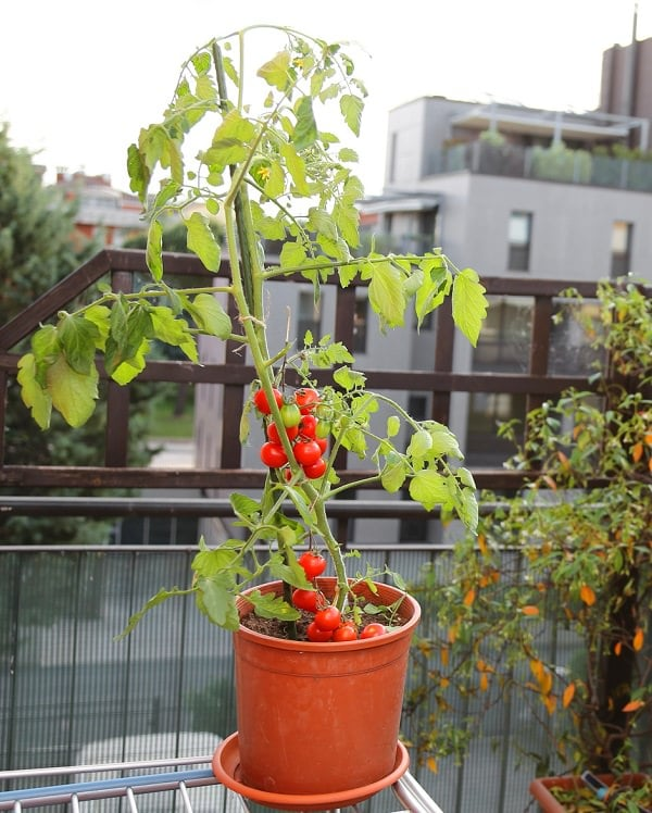 You Can Place Your Tomato Pots In Virtually Any Location. However, Choose A  Place Where The Plants Will Receive A Minimum Six Hours Of Sunlight.
