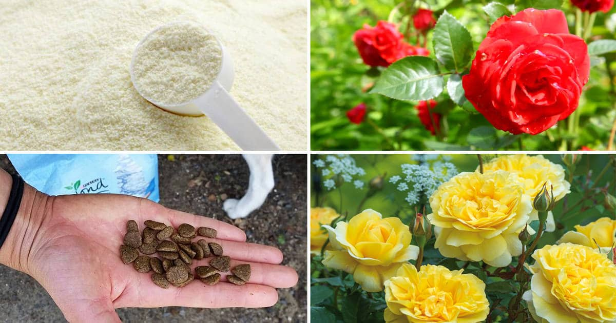 10 DIY Rose Fertilizer & Remedies Available In Your Kitchen & You Never Knew They Exist! | Balcony Garden Web