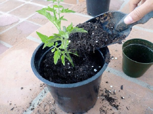 15 Secrets to Growing Tomatoes in Containers | Balcony ...