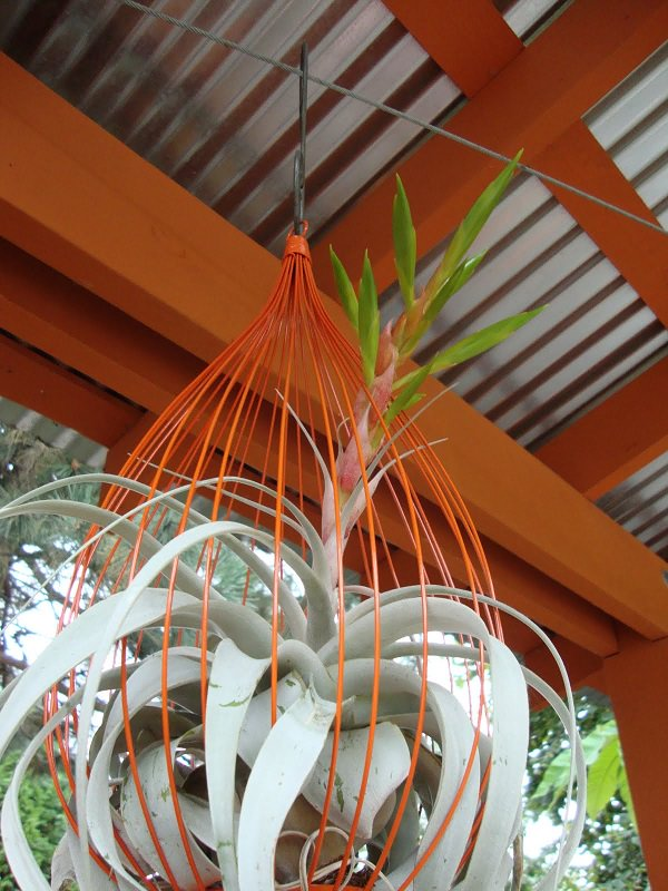 51 Most Amazing Air Plant Display Ideas | Balcony Garden Web