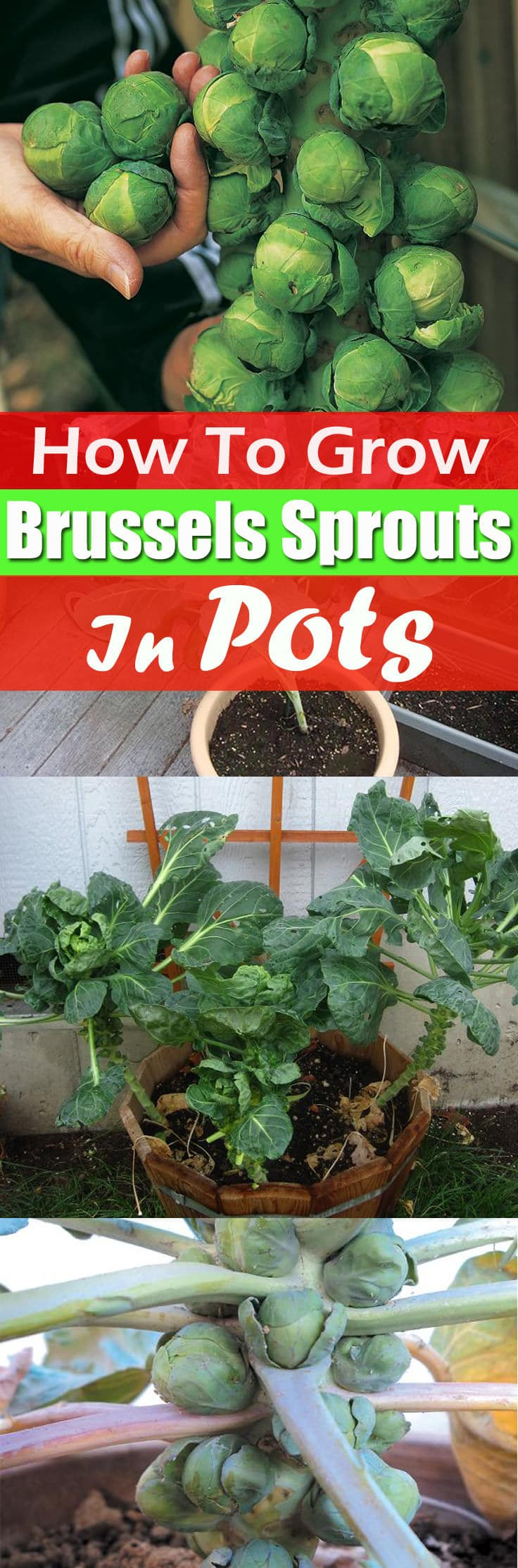 How To Grow Custard Apple: Growing Brussels Sprouts In Containers