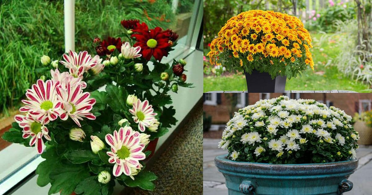 Balcony Garden Web & How to Grow Chrysanthemums in Pots