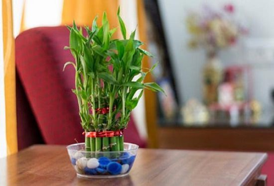 Lucky Bamboo Is Not A Real But Member Of The Lily Family This Low Maintenance Tropical Indoor Plant Known To Bring Good Luck And Fortune