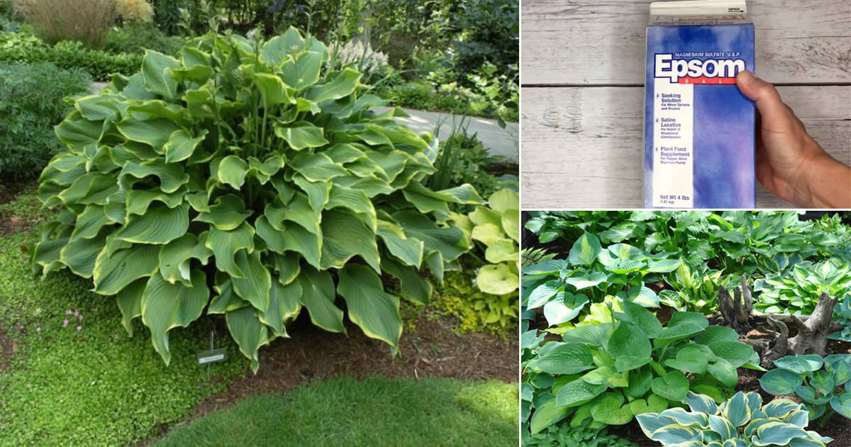 How To Make Hostas Grow Bigger Bushier Lusher With Epsom Salt