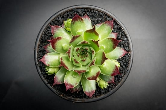 Best Succulents For Beginners 6