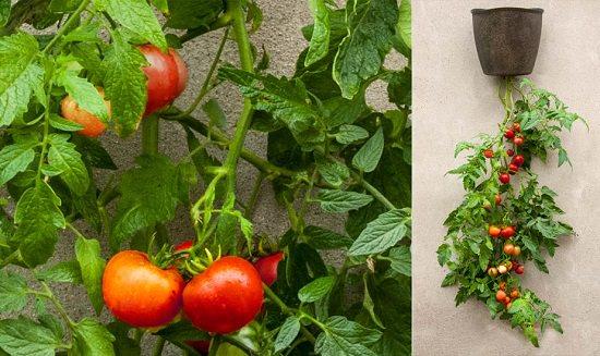 DIY Tomato Garden Ideas