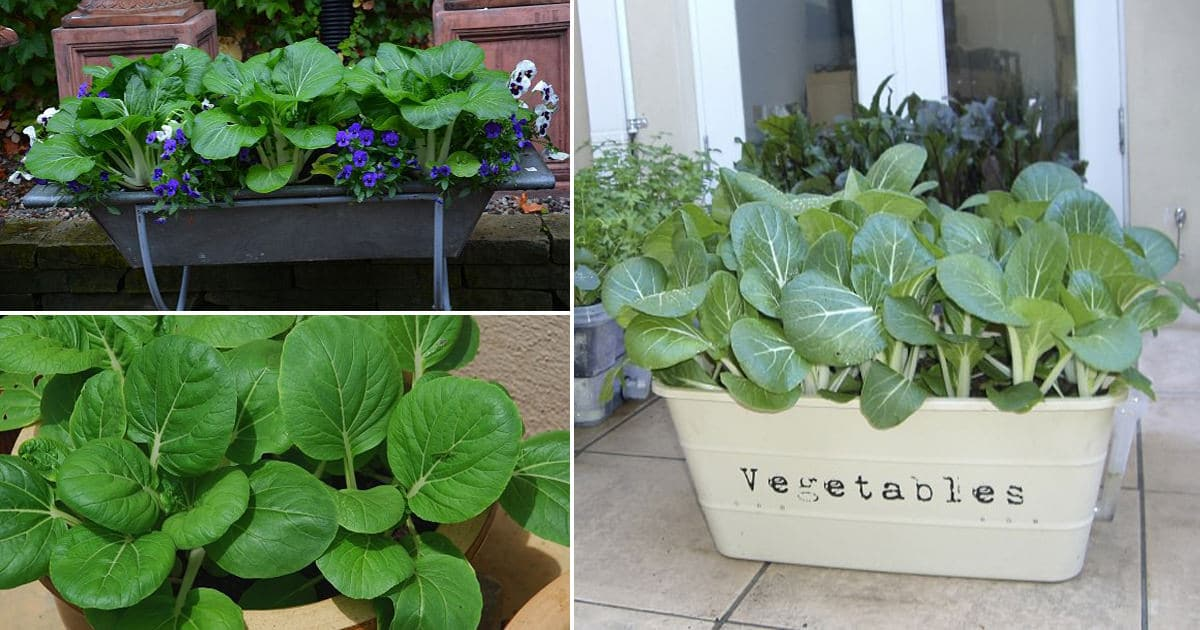 Everything About Growing Pak Choi In Containers How To Grow Bok
